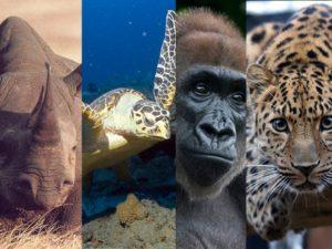 (أهم الحيوانات المعرضة للانقراض: نمر الشمال، غوريلا النهر، السلحفاه البحرية صقرية المنقار، وحيد القرن الأسود)