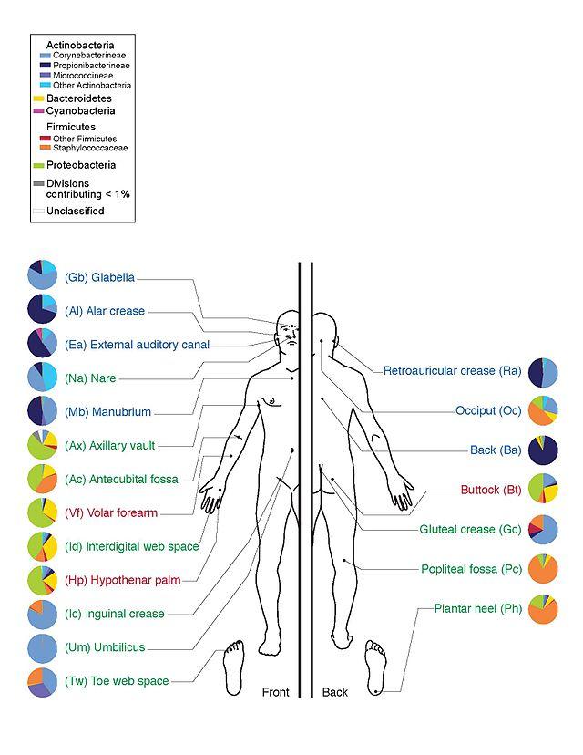 توّزع الفلورا في الجسم