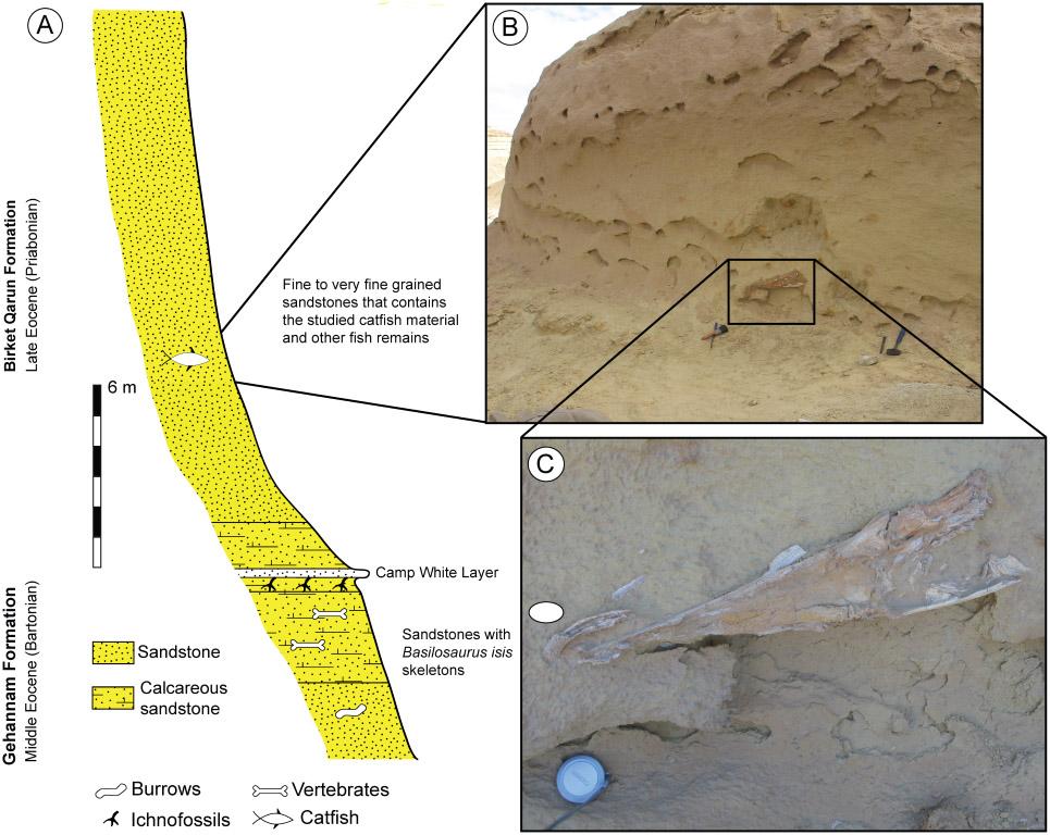 حفرية قرموط وادي الحيتان