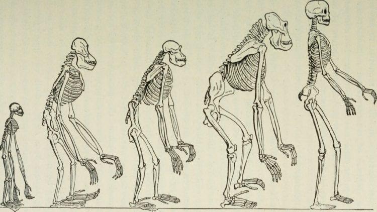 تطور الهيكل العظمي للإنسان
