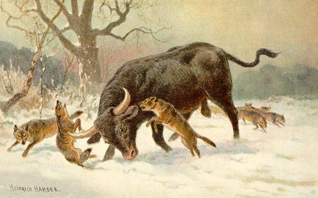 البقر البري، الأُرْخُص