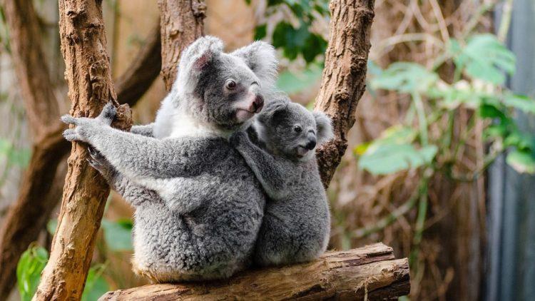 الكوالا, تطور, ثدييات, بيولوجي, انقراض, سنوريات, حيوانات مهددة بالانقراض