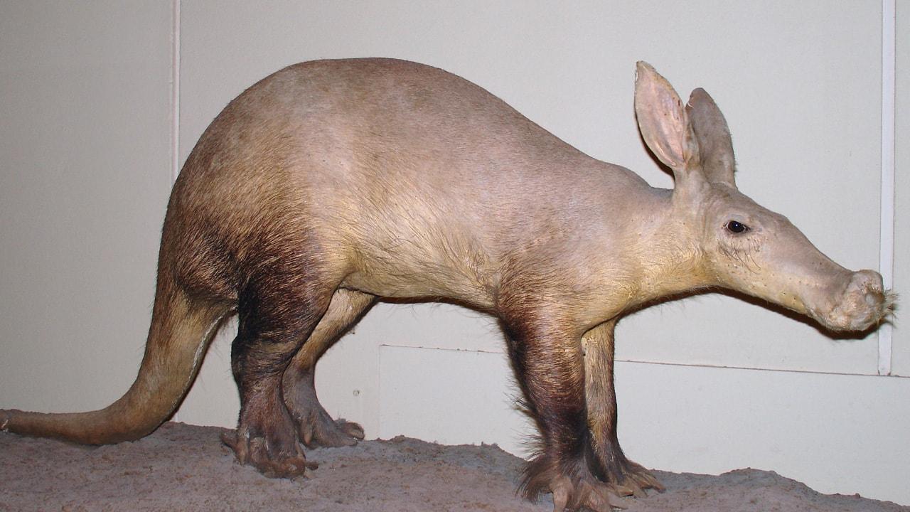 تطور, ثديات, بيولوجي, خنزير الأرض