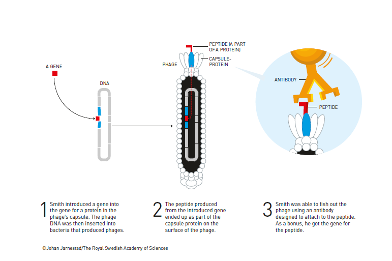 Phage display, التطور الموجه, نوبل, الكيمياء