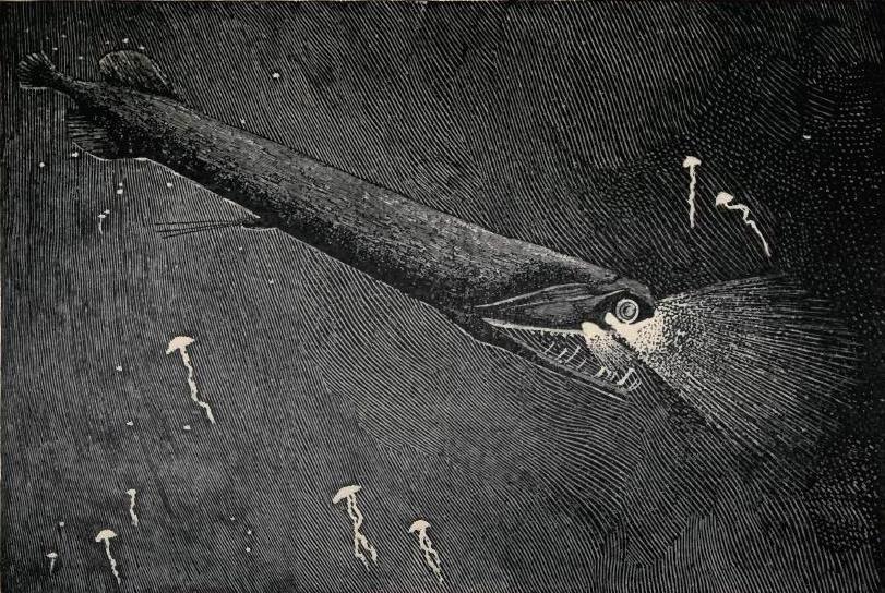 سمكة التنين ذات الفك المرتخي