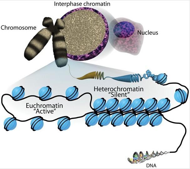 الهستونات والكروموسومات