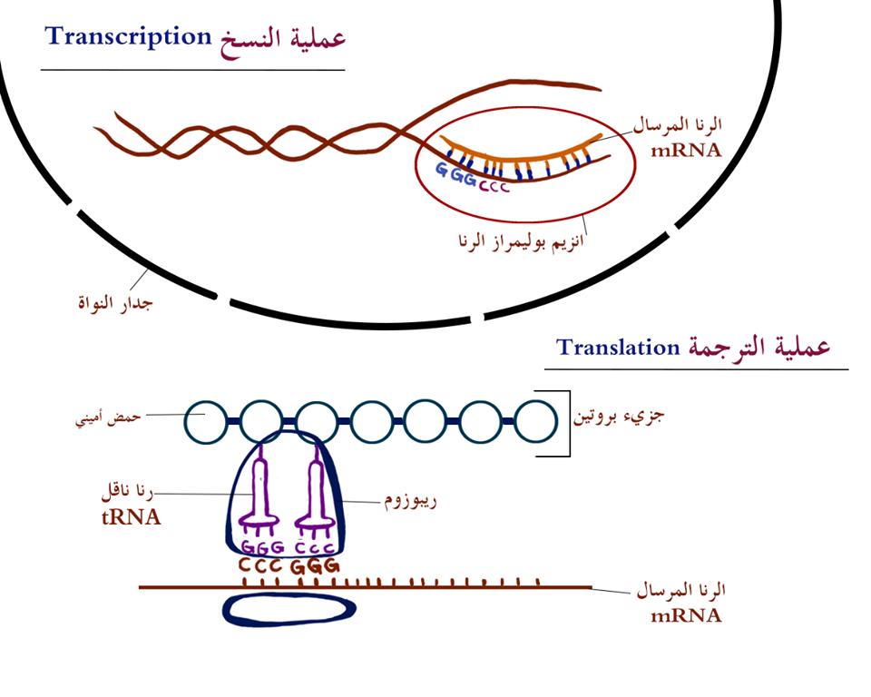 عملية نسخ الجين وترجمته لبروتين