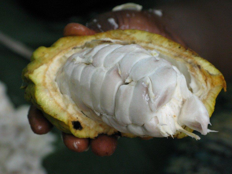 ثمرة شجرة الكاكاو