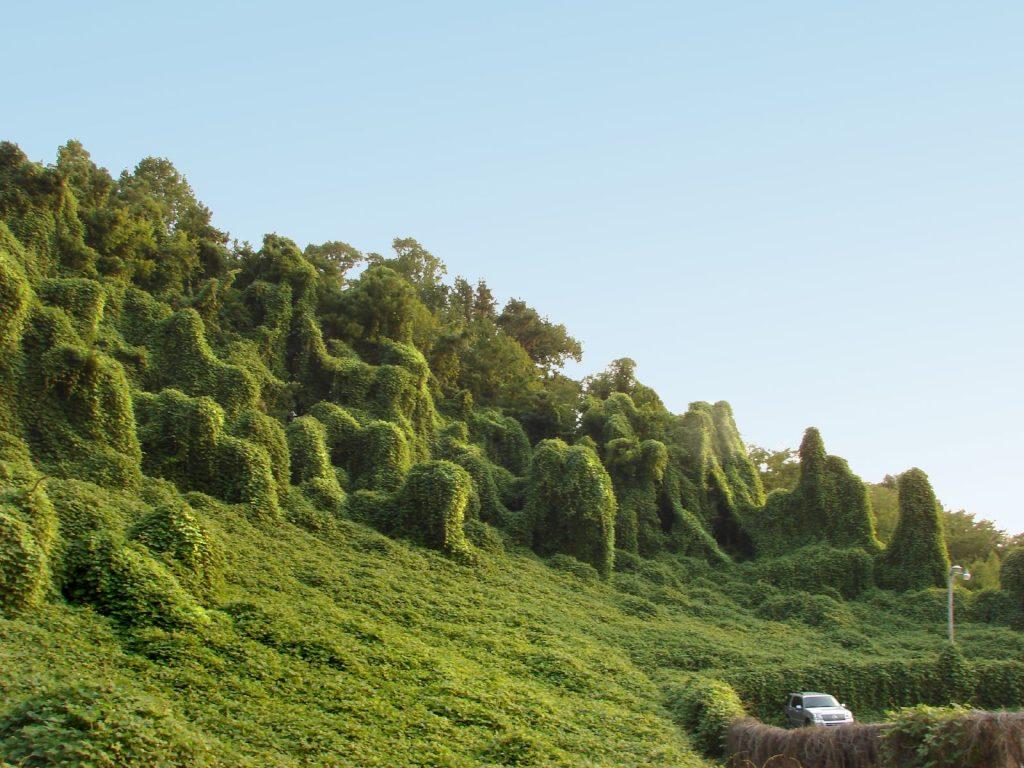 نبات الكودزو يغطي المنظر الطبيعي